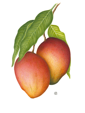 Mangifera sp. - Red Mangos  botanical painting by Pauline Goldsmith